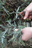 Pruning a sage plant in spring