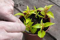 Taking softwood tip cuttings of Fuchsia 'Genii'. Placing in pot