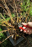 Maintaining a hardy fuchsia in a container. Pruning back the woody shoots of a container grown yellow leaved hardy fuchsia 'Genii' in the Spring as new shoots are sprouting from the base. This will encourage compact, bushy growth