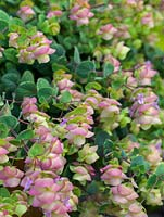 Origanum 'Kent Beauty' with pretty pink flowers and aromatic leaves.