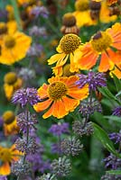 Helenium 'Waltraut' and spikes of Salvia verticillata in July