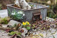 Materials and tools to make a miniature winter Garden. Eranthis - Winter Aconite, Galanthus -  Snowdrops, Birch bark, Moss, Viburnum foliage, Alder catkins - Alnus glutinosa and Salix - Pussy Willow.