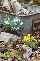 Plants and materials to create a miniature winter garden. Eranthis - Winter Aconite, Galanthus - Snowdrops, Birch bark, Moss, Viburnum foliage, Alder catkins - Alnus glutinosa and Salix - Pussy Willow