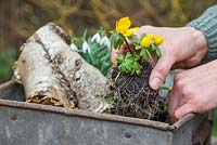 Planting Eranthis - Winter Aconite into container as part of miniature winter garden
