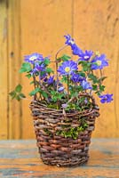 Anemone blanda planted in woven basket