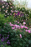 In the Lion Garden at David Austin Roses, herbaceous perennials such as foxgloves are planted in combination with the roses.