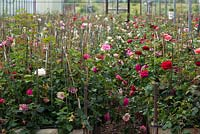 David Austin Roses. The breeding centre where each year 80,000 roses are handcrossed. The parentage of each cross is carefully recorded, and indicated on each plant by barcoded labels.