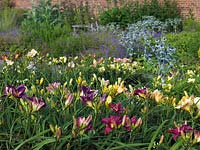 Multi-coloured beds of Hemerocallis with  perennial Geranium, Astrantia and Eryngium, at specialist grower Mynd Nursery.