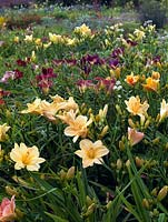 Multi-coloured beds of Hemerocallis with  perennial Astrantia, at specialist grower Mynd Nursery.