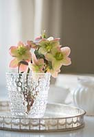 Bunch of Helleborus x ericsmithii 'Monte Cristo' Gold Collection in a glass