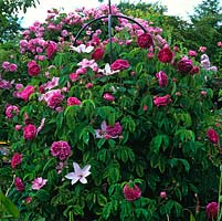 An obelisk covered by Rosa 'Charles de Mills' and Clematis 'Hagley Hybrid'.