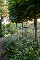 Sunrise on Tilia - Pleached Limes underplanted with Bergenia, Salvia officinalis 'cens',  Artemesia and Lychnis coronarius