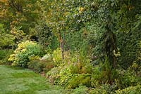 Manicured green grass lawn and border with mixed plants, trees, shrubs and flowers including Picea pendula - Spruce tree, Rhus typhina - Sumac and Thuja occidentalis - Cedar hedge in private backyard garden in autumn