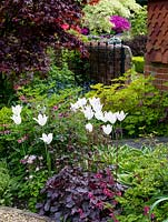 Tulipa 'White Triumphator' in bed with red-leaved heuchera, corydalis, aquilegia, Lamprocapnos spectabilis and hosta. Behind, Lamprocapnos spectabilis 'Gold Hear't, maple, brunnera.