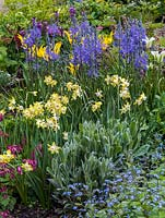 Spring border with Narcissus Pipit, Tulipa West Point and Spring Green, Camassia leichtlinii Caerulea Group, Corydalis, erysimum, silver lychnis and blue brunnera