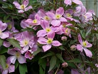 Clematis montana var. Rubens, a vigorous climber with pretty pink, single flowers in spring.