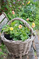 Basket with Geum 'Cosmopolitan' and Geum 'Gimlet' flowering from spring into summer. Pictured in May.