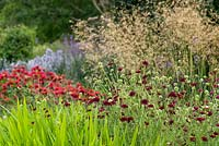 Knautia macedonica in mixed herbaceous border with Stipa gigantea. Sir Harold Hillier Gardens, UK.