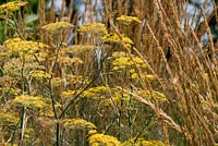 Foeniculum vulgare 'Giant Bronze' with Calamagrostis x acutiflora 'Karl Foerster'. Sir Harold Hillier Gardens, Hampshire UK.