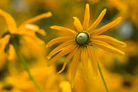 Rudbeckia hirta 'Irish Eyes'