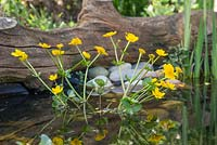 Caltha palustris - A Marsh Marigold flowering in the Wildlife Pond