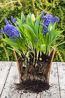 Multi layered bulb container displaying root development of bulbs. Muscari armeniacum, Hyacinthus orientalis 'Delft Blue' and Tulip 'Sunny Prince' in bloom