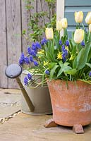 Multi layered bulb container with Narcissus 'Hawera', Muscari armeniacum and Tulip 'Sunny Prince' in bloom