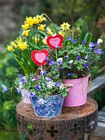 Winter containers of Anemone blanda and daffodils, with felt hearts for Valentine's Day.