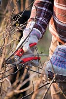 Man pruning red currants.