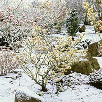Snowy front garden with Hamamelis x intermedia Pallida, a golden witch hazel, in foreground, a few crocus at its base.