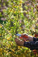 Pruning back Forsythia suspensa after flowering in spring.