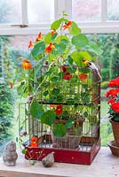 A bird cage used as a support for Nasturtiums in conservatory.