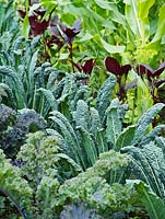 Brassica oleracea - Rows of kale in kitchen garden, summer