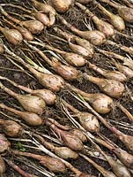 Shallot 'Longor' - rows of harvested shallots laid out to dry