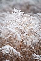 Pteridium aquilinum. Hoar frost on bracken.