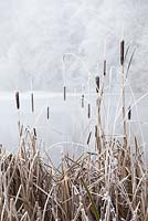 Typha latifolia - Bullrushes by a frozen lake in Gloucestershire on a frosty winter's day.