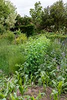 Bob Flowerdew's organic vegetable garden, divided into 40 beds in which he rotates crops. He has a card index of what's grown in each bed which goes back 30 years. Lines of peas, cabbage, sweet corn interspersed with self-seeding borage.