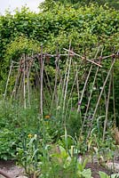 Bob Flowerdew's organic vegetable garden, divided into 40 beds in which he rotates crops. He has a card index of what's grown in each bed which goes back 30 years. Support for runner beans and sweet peas amidst asparagus fern, borage and marigold.