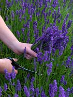A picker cuts lavender to put in boxes and dry, at Hitchin Lavender Fields.