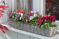 Window basket planted with Calluna 'Garden Girls Liliane' and Viola cornuta