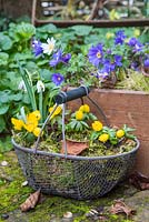 Wire basket planted with Winter aconites, accompanied with a container of Anemone blanda