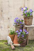 Wicker baskets planted with Anemone blanda accompanied with Galanthus