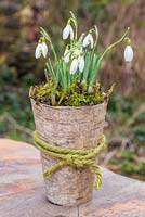 Galanthus underplanted with moss in a natural container of birch bark