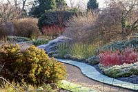 Frosted winter garden at cambridge university botanical garden, coloured salix stems, frosted lawn, curving gravel path