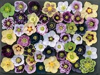 A selection of Ashwood Garden hybrid hellebores, winter flowering perennials in different colours and forms - single, double, anemone-centred, picotee.