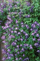 Clematis macropetala 'Blue Bird' - Alpina group, April
