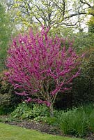 Cercis chinensis avondale - chinese red bud, tree in full bloom. Savill garden. April.