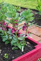 Raised bed with small row of Broad Beans - Vicia faba, 'Crimson Flowered'