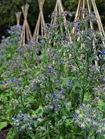 Borage plants grow beside a line of cane wigwam supports for runner beans. The two-acre, organic, walled kitchen garden at Le Manoir aux Quat'Saisons, conceived by celebrity chef, Raymond Blanc.