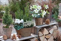 Helleborus - white hellebores - Christmas rose, Picea glauca 'Conica' - white spruce, Calluna Garden Girls 'Helena' - heather, Cyclamen, Carex testacea 'Bronze Form' , pine cones, old crate storing firewood